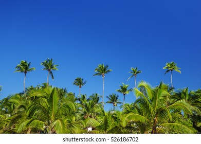 Palm trees on the sky background, tropical country, Dominican Republic