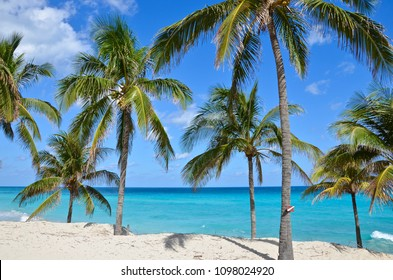 Palm trees on Varadero beach in front of the turquoise caribbean sea
