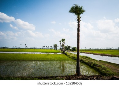 palm trees in paddy fields