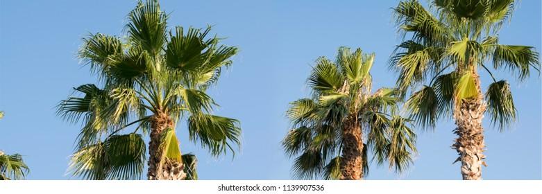 palm trees panorama