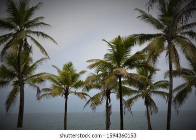 Palm Trees of Puerto Rico
