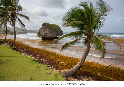 Palm Trees and Rock Formations at the Beach at Bathsheba in Barbados