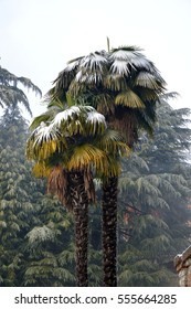 Palm trees with snow, winter scene