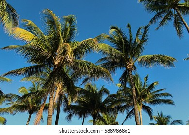 Palm Trees  of South Beach, Florida Which Make a Great Background Texture
