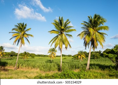 palm trees and sugar cane plantations on Marie-Galante, Guadeloupe