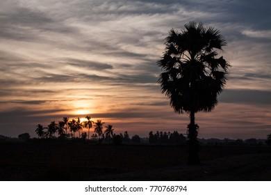 Palm trees, Sunset at Phitsanulok, Thailand.