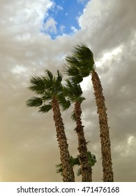 Palm trees swaying in the wind during dramatic cloudy Arizona sunset before dramatic weather storm