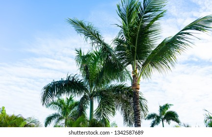 palm trees tropical background; Dominican Republic