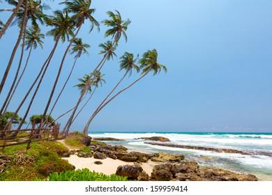 Palm trees at the tropical coast in Sri Lanka