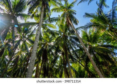 Palm trees in tropical forest. Kadidiri island. Togean Islands. Central Sulawesi. Indonesia