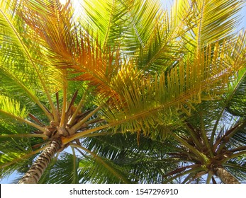 Palm trees under a blue sky in Martinique, French West Indies. Antilles.
