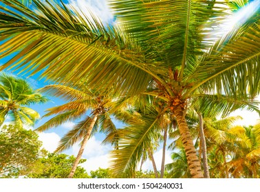 Palm trees under a sun shining in Bois Jolan beach in Guadeloupe, French west indies. Lesser Antilles, Caribbean sea