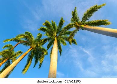 Palm trees upward angle with blue sky background