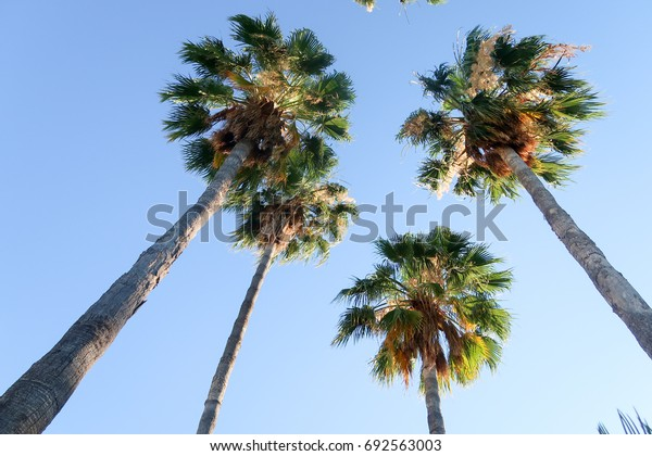 Palm trees view from below into the sky
