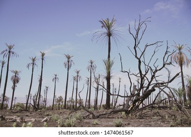 Palm trees in wildfire aftermath