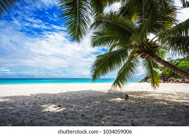 A palm tree,white sand,turquoise water at a beautiful tropical beach. paradise at the seychelles. Dream beach anse georgette on praslin.