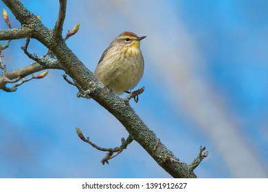 Palm Warbler perched on a branch. Ashbridges Bay Park, Toronto, Ontario, Canada.