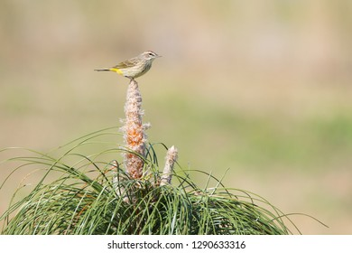 A Palm Warbler perches atop a young cultivated Longleaf Pine at Brownie Wise Park in Osecola County, Florida.  Longleaf Pine is an endangered plant.