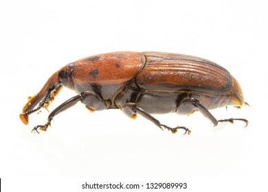 The palm weevil Rhynchophorus ferrugineus is one of two species of snout beetle known as the red palm weevil, Asian palm weevil or sago palm weevil.