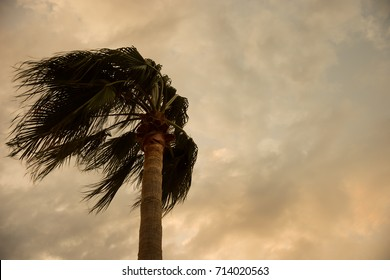 Palm in the wind on the dirty yellow sky with clouds.