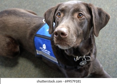 "Palmer the chocolate Labrador retriever, an expressive animal, lays looking eagerly off to the left while wearing a blue ""ask to pet me"" vest"