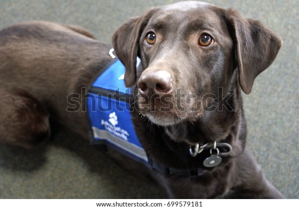 """Palmer the chocolate Labrador retriever, an expressive animal, lays looking eagerly off to the left while wearing a blue """"ask to pet me"""" vest"""
