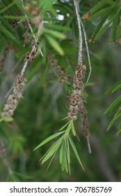 Palmer tree seeds