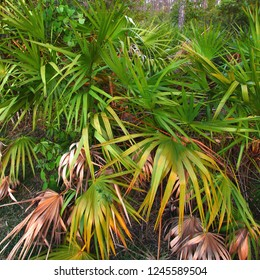 Palmetto covers the forest floor in the Everglades National Park in Florida