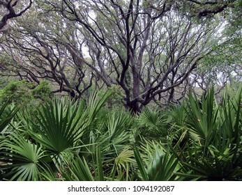 Palmetto forest on Cumberland Island