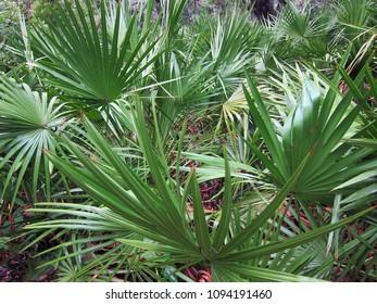 Palmetto plants on Cumberland Island