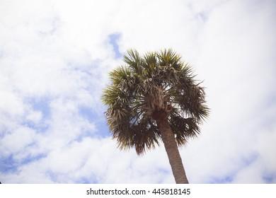 Palmetto trees in Charleston, South Carolina under the blue sky