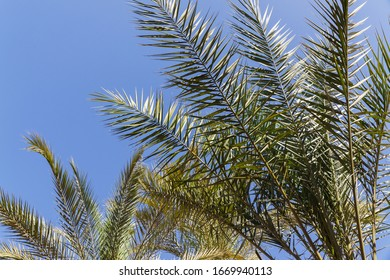 Palmleaves 					 with bright blue sky in the back