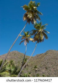 Palms against perfect blue sky in the caribbean