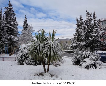 Palms and evergreen trees covered with snow, cold winter in southern Russia