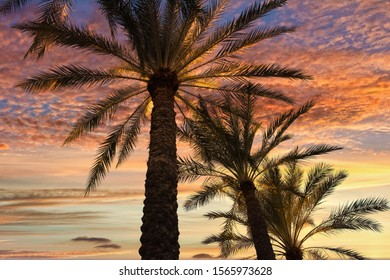 Palms at sunset - Royal palms silhouetted against a brilliant Arizona sunset.