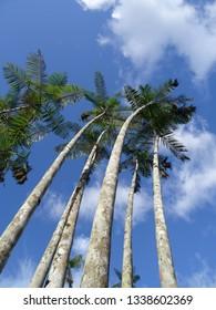 Açai's palms trees in Amazonia