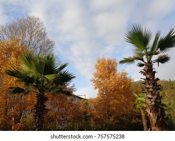 Palms and trees with yellow foliage, autumn nature in city park