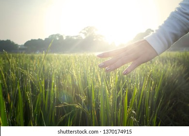 Palms of young woman caressing dew drops on paddy leaves at morning time