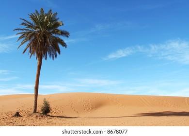 Palm-tree in Sahara desert