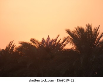 Palmtrees in sunset are seen. Yellow, brown, black colors. Contrast of palmtrees against the sky.