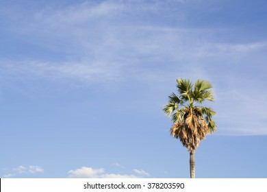 Palmyra palm in the blue sky
