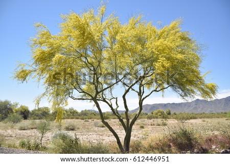 palo verde tree bloom stock photo edit now 612446951 shutterstock