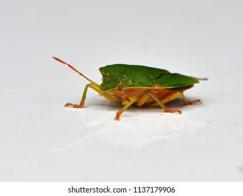 Palomena prasina bug