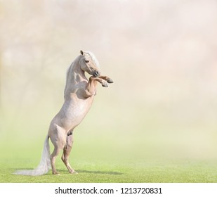 Palomino American Miniature Horse rearing on blur background with space for text.