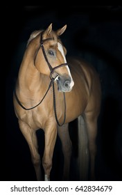 Palomino American Quarter Horse Mare on Black Background