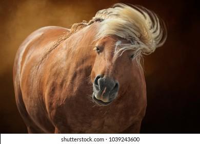 Palomino draft heavy Comptois horse, cob, long flowing blonde  mane