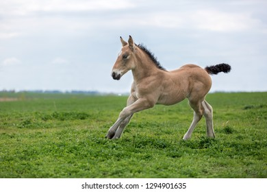 Palomino foal running on the meadow.