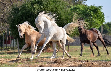 A palomino, grey Arab and a bay thoroughbred heard are galloping and chasing after one another in a grassy field with trees in the background while the wind blows their mains and tails