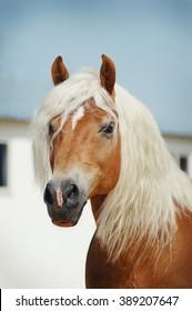 Palomino Haflinger horse portrait outdoors