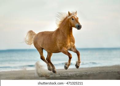 palomino haflinger horse runs free on the beach